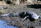 Watch for Gators on the banks!